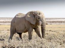 Elefante nel parco Namibia di Etosha Fotografia Stock Libera da Diritti