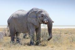 Elefante nel parco Namibia di Etosha Fotografie Stock