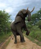 Elefante nel parco nazionale di Hwage, Zimbabwe Elevandosi su, su due gambe Elefante, zanne, casetta dell'occhio del ` s dell'ele fotografia stock