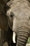 Elefante nel parco nazionale di Serengeti Fotografie Stock Libere da Diritti