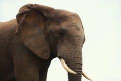 Elefante nel profilo Immagini Stock