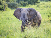 Elefante nel selvaggio fotografie stock