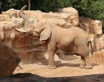 Elefante nell'ambiente naturale in bio- parco a Valencia, Spagna Immagini Stock