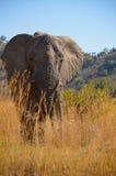 Elefante nell'erba Fotografia Stock
