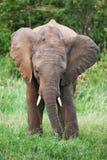 Elefante nell'erba, Masai Mara, Kenia Fotografia Stock