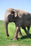 Elefante nella città Fotografia Stock