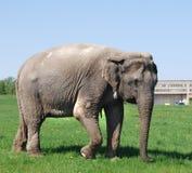 Elefante nella città Immagini Stock Libere da Diritti