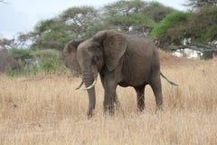 Elefante nella savanna, Tanzania Immagini Stock