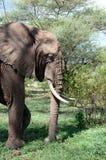 Elefante nel parco nazionale di Manyara Immagini Stock Libere da Diritti