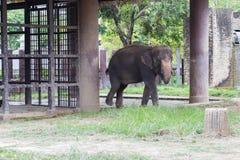 Elefante nello zoo del dusit, Tailandia immagini stock