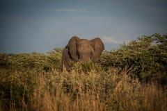 Elefante no arbusto fotografia de stock