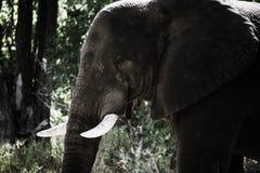Elefante no arbusto na reserva África do jogo de Moremi foto de stock royalty free