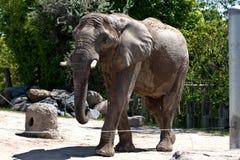 Elefante no jardim zoológico Foto de Stock