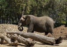 Elefante no jardim zoológico Fotos de Stock Royalty Free
