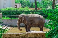 Elefante no jardim zoológico de Kaliningrad Fotografia de Stock