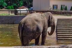 Elefante no jardim zoológico de Kaliningrad Fotos de Stock