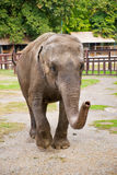 Elefante no jardim zoológico de Tailândia Foto de Stock Royalty Free