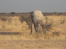 Elefante no parque nacional de Etosha Fotos de Stock
