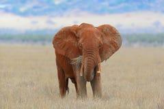 Elefante no parque nacional de Kenya Foto de Stock