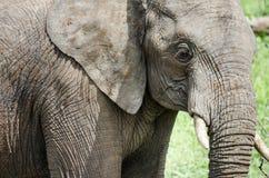 Elefante no parque nacional de Kruger, África do Sul Imagens de Stock