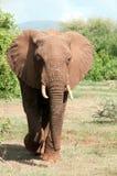 Elefante no parque nacional de Manyara imagem de stock