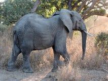 Elefante no perfil Imagens de Stock