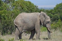 Elefante no perfil com sua cabeça para baixo Imagens de Stock