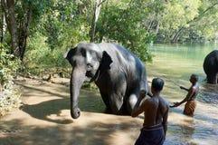 Elefante no rio que está sendo preparado por seus alimentadores para um banho Fotos de Stock Royalty Free