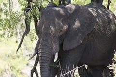 Elefante no safari África do Sul imagens de stock royalty free