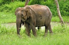 Elefante no safari Fotografia de Stock Royalty Free