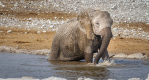 Elefante no waterhole Foto de Stock Royalty Free