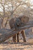 Elefante novo Imagens de Stock Royalty Free