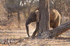 Elefante novo Imagem de Stock Royalty Free