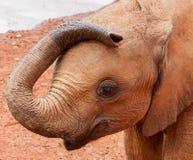 Elefante novo com o tronco que descansa na cabeça Fotografia de Stock
