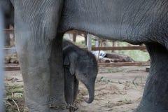 Elefante novo do close up protegido pelo elefante da mãe, Tailândia fotografia de stock royalty free
