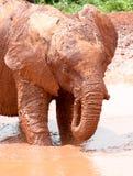 Elefante novo que anda na água enlameada Fotografia de Stock