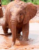 Elefante novo que anda na água enlameada Foto de Stock