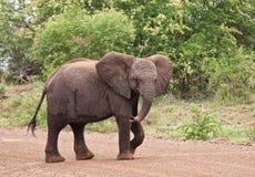 Elefante novo que anda sobre a estrada Imagem de Stock Royalty Free