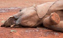 Elefante novo que coloca na terra Imagens de Stock Royalty Free