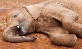 Elefante novo que coloca na terra Fotografia de Stock