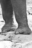 Elefante \ 'pés e pés de s Imagens de Stock Royalty Free
