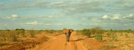 Elefante panorámico Fotografía de archivo libre de regalías