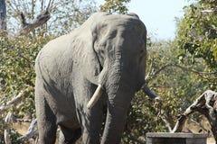 Elefante in parco nazionale Fotografia Stock