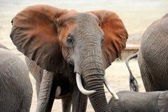 Elefante in parco nazionale del Kenya Immagini Stock Libere da Diritti