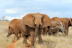 Elefante in parco nazionale del Kenya Immagine Stock