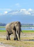 Elefante in parco nazionale del Kenya Fotografia Stock