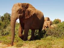 Elefante, parque de Addo Foto de Stock Royalty Free