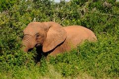 Elefante, parque nacional de Addo Foto de archivo libre de regalías