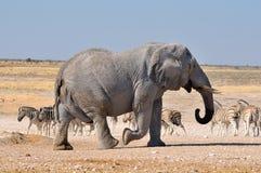 Elefante, parque nacional de Etosha, Namíbia fotografia de stock royalty free