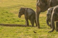 Elefante pequeno do bebê que verifica o equilíbrio fotografia de stock